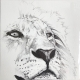 Lion Stare drawing by Damilola Odusote